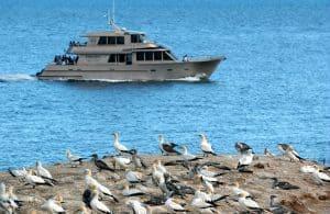 Gannets birds at White island